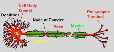 05.neuronbiomodel.jpg
